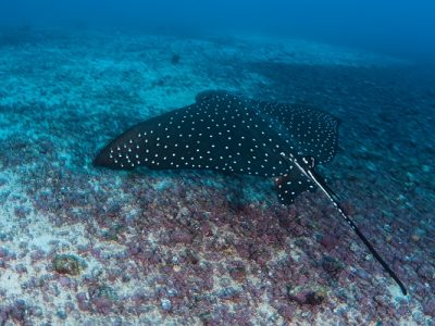 Spotted Eagle Ray Swimming Over Seafloor